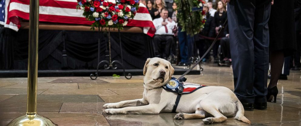 PHOTO: Sully, a yellow Labrador service dog for former President George H. W. Bush, sits near the casket of the late President at the U.S. Capitol, Dec. 4, 2018.