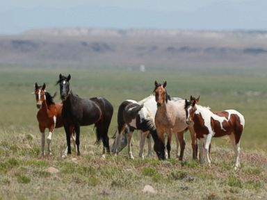 PHOTO: Wild horses roam free on state and some private land, outside federal disengaged horse management areas on May 31, 2017 outside Milford, Utah.