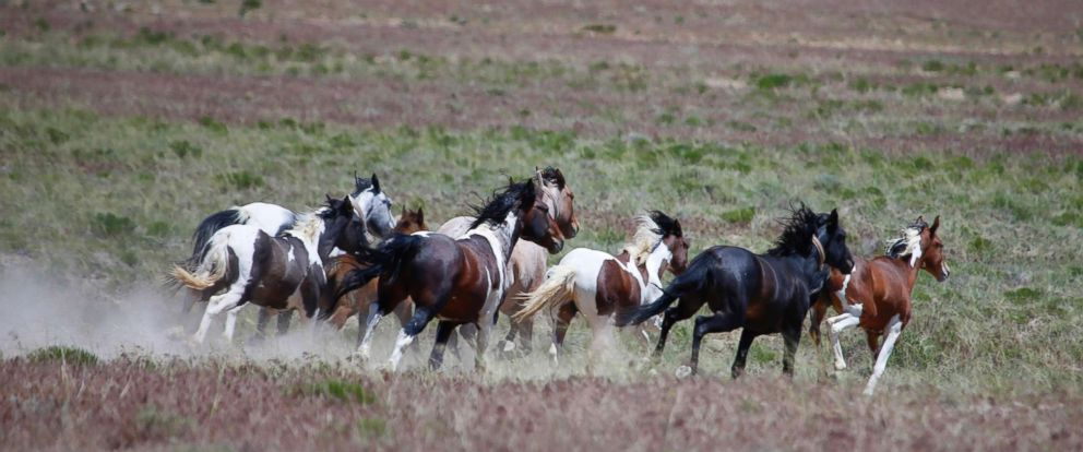 activists fear mass roundup of wild horses with government rule