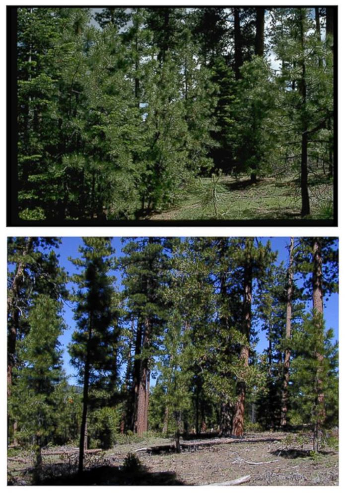 PHOTO: A Forest Service photo shows an area of ponderosa pines before and after the process of removing potential fuel for wildfires.