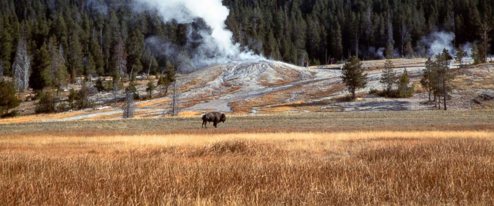 PHOTO: A bison grazes at Yellowstone National Park in Wyoming as a geyser emits steam in the background, in this file photo dated Oct. 2005.