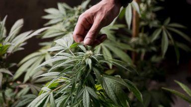 PHOTO: A marijuana grower checks the leaves of his marijuana plants for fungus, on the outskirts of Montevideo, Uruguay, Dec. 9, 2013.