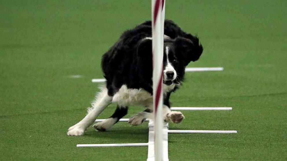 Border collie named Stella competes in the masters agility preliminary rounds during the Westminster Kennel Club Dog Show, Saturday, Feb. 9, 2019, in New York. (AP Photo/Wong Maye-E)