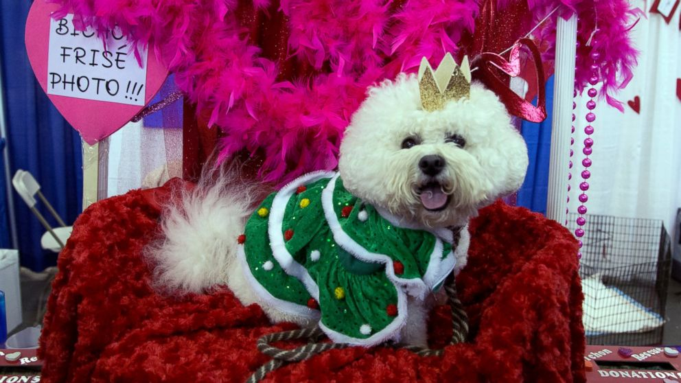 Casey, a bichon frise, poses for photos during the meet the breeds companion event to the Westminster Kennel Club Dog Show, aturday, Feb. 9, 2019, in New York. (AP Photo/Nat Castaneda)