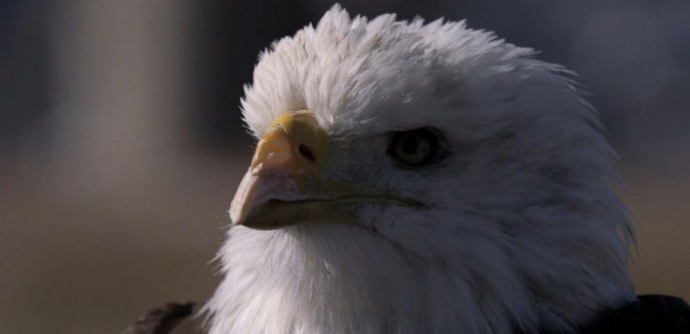 VIDEO: Radars On the Lookout for Eagles