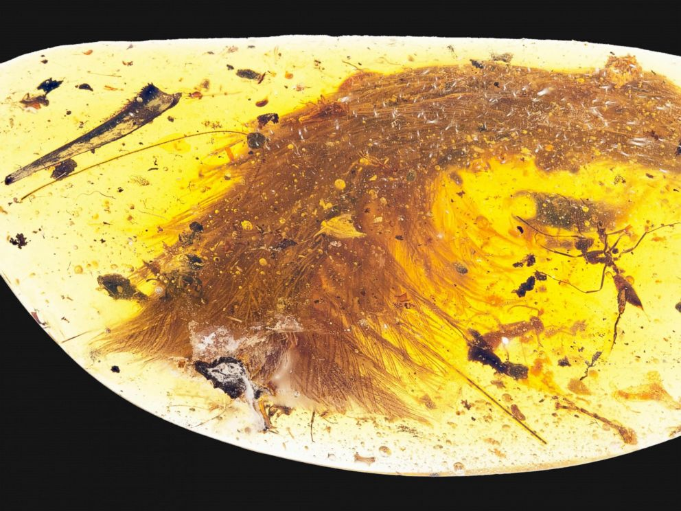 PHOTO: This image released by the Royal Saskatchewan Museum in Canada shows a dinosaur tail complete with its feathers trapped in a piece of amber.