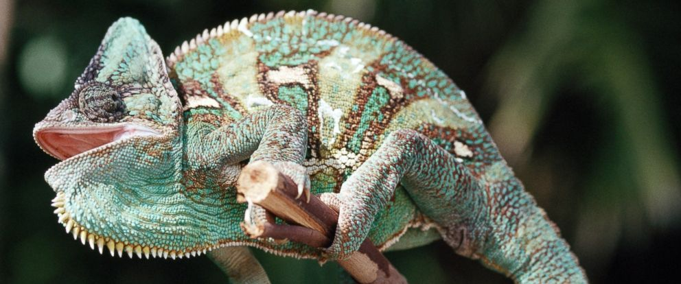 PHOTO: A new study may reveal how Chameleons change color.