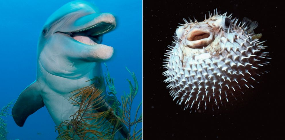 dolphins can get high on puffer fish says nature show abc news