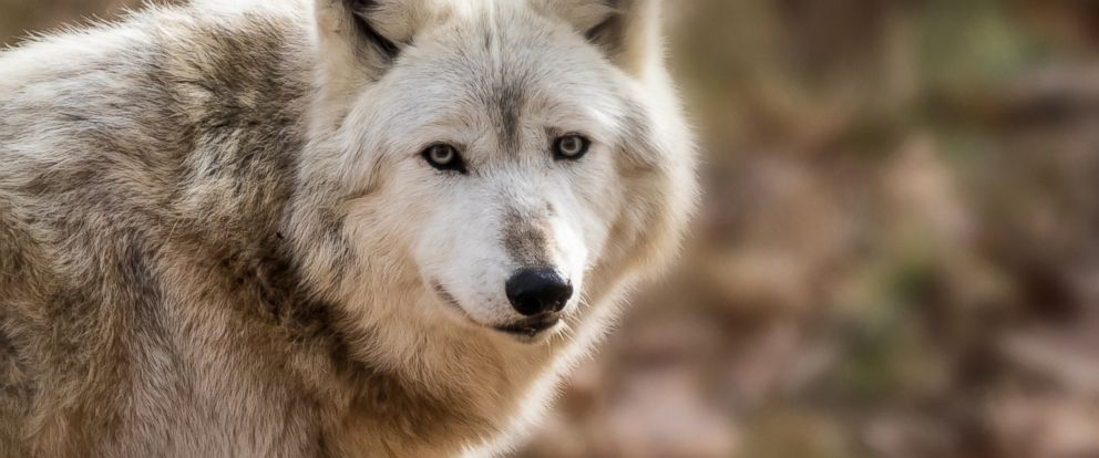PHOTO: A gray wolf is shown in this undated photo.