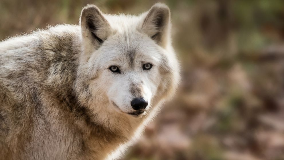 Trump administration proposes removing gray wolves as an endangered species thumbnail