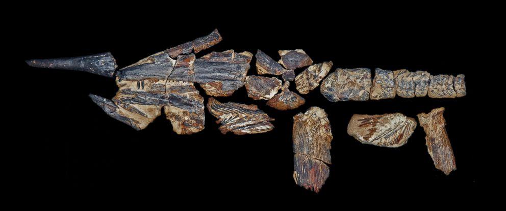 PHOTO: The fossil of a Australopachycormus hurleyi.