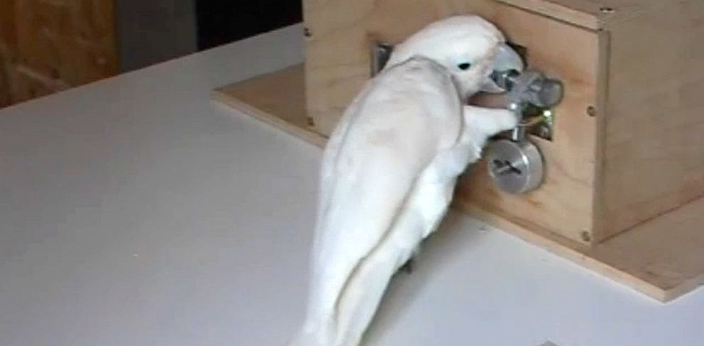 "PHOTO: A cockatoo named ""Dolittle"" figures out how to unlock the box for a treat."