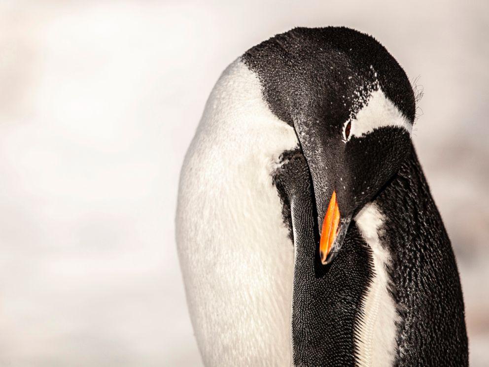 PHOTO: A Gentoo Penguin is seen in Antartica.