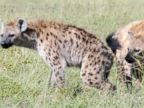 PHOTO: Bacteria located in a hyenas scent pouch may be responsible for their odor.