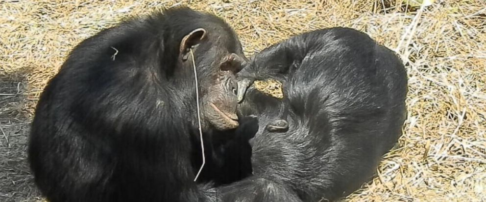 PHOTO: Val, a male chimpanzee at Zambias Chimfunshi Wildlife Orphanage Trust sanctuary, wearing a single blade of grass hanging from one ear, being groomed by a female named Kathy.