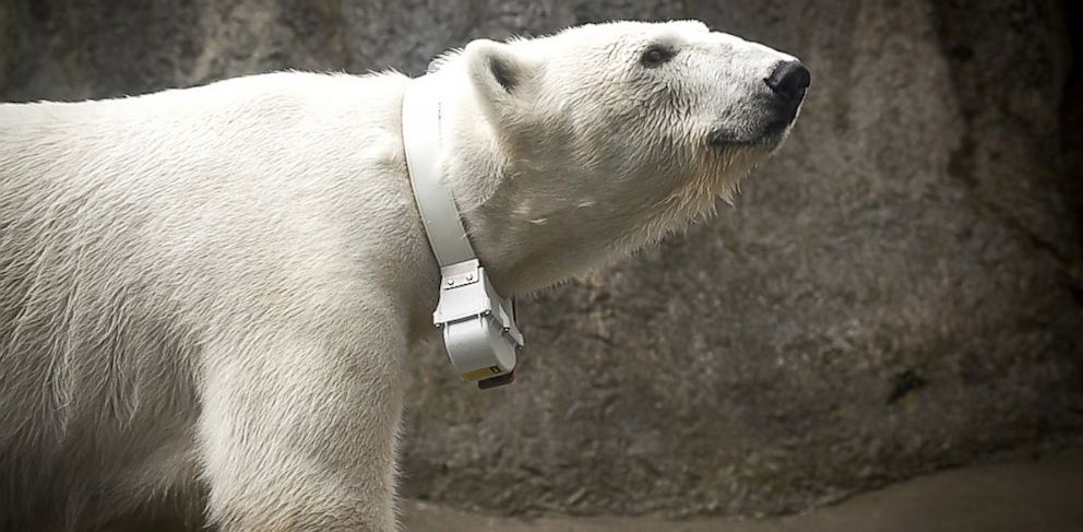 PHOTO: Polar Bear Tasul wears a collar designed to collect data for research.