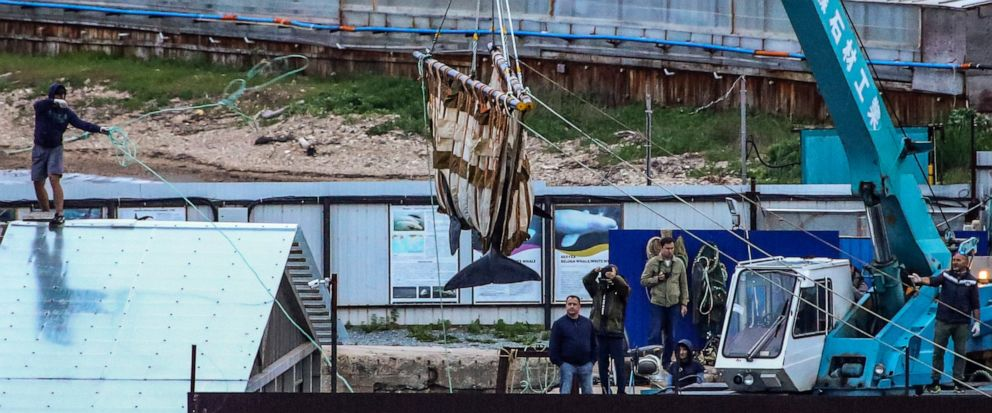FILE - In this Thursday, June 20, 2019 file photo, workers move a whale by a crane in Srednyaya Bay, out of Vladivostok, Russia. Russian officials say a plan to put nearly 100 illegally captured whales back in open water has been successful so far, b