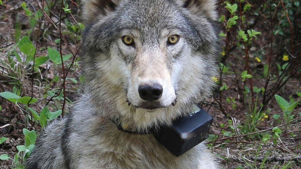 FILE - This March 13, 2014 file photo provided by the Oregon Department of Fish and Wildlife shows a female wolf from the Minam pack outside La Grande, Ore., after it was fitted with a tracking collar. Environmental groups have withdrawn from talks aimed at updating the wolf management plan in Oregon. Wolf conservation advocates, ranchers and hunters have been meeting with the Oregon Department of Fish and Wildlife for months to update the rules that protect and manage the state's rebounding wolf population. (Oregon Department of Fish and Wildlife via AP, file)