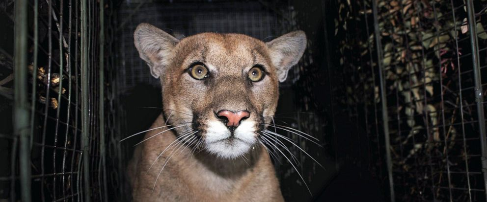 FILE - This Oct. 2017, file photo provided by the National Park Service shows a mountain lion known as P-61, captured in the Santa Monica Mountains, Calif. The male mountain lion who successfully crossed a 10-lane freeway in Los Angeles two months ag