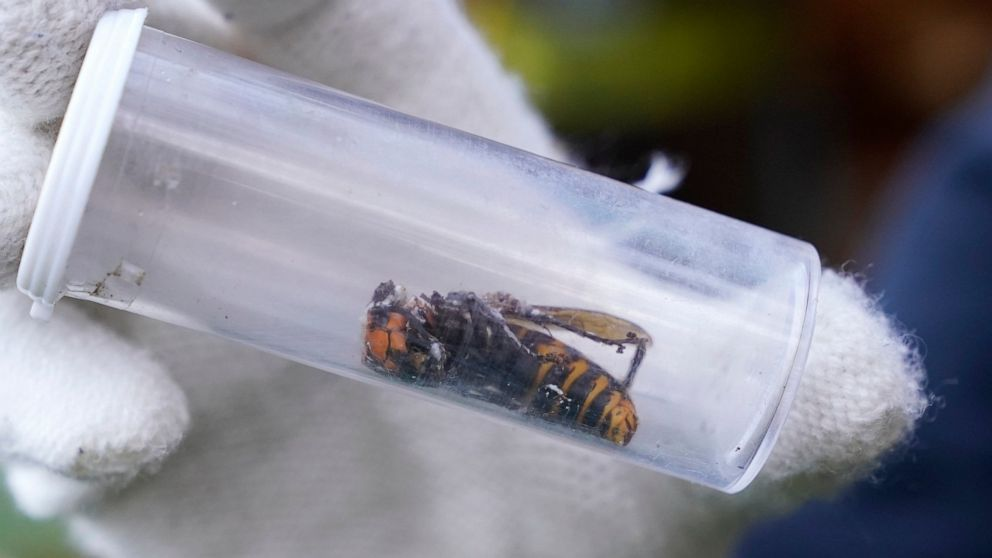 Dead Murder Hornet Found Near Seattle is the First One Discovered in U.S. This Year