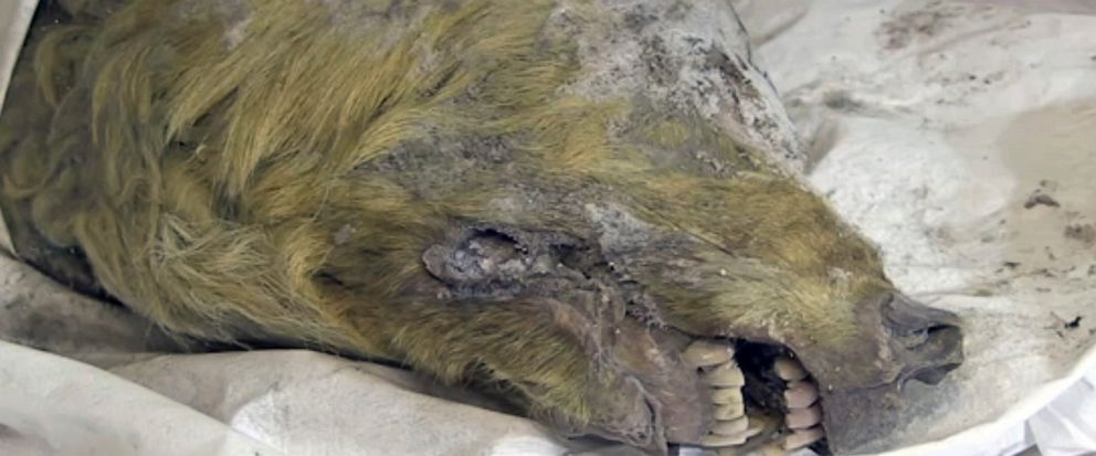 The head of an Ice Age wolf, at the Mammoth Fauna Study Department at the Academy of Sciences of Yakutia, Russia, June 10, 2019. Experts believe the wolf roamed the earth about 40,000 years ago, but thanks to Siberias frozen permafrost its brain, fu