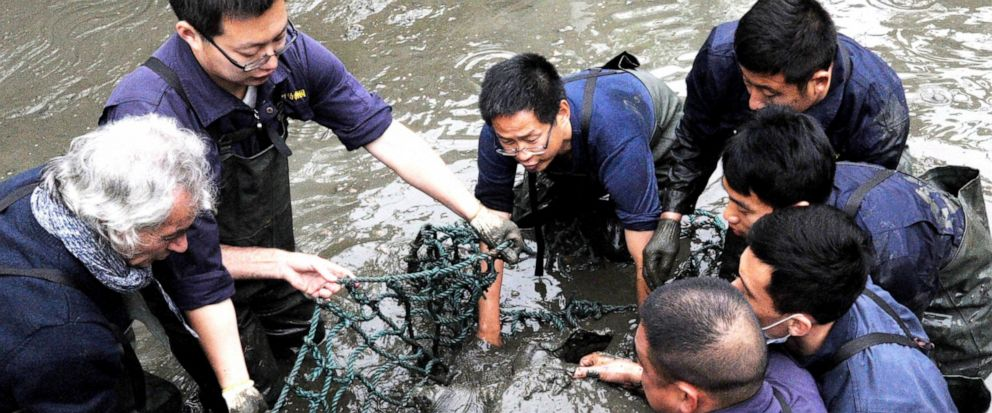 In this April 7, 2016, photo, researchers lift a female Yangtze giant softshell turtle out of the water at a zoo in Suzhou in eastern Chinas Jiangsu province. The only known female member of one of the worlds rarest turtle species has died at a zoo