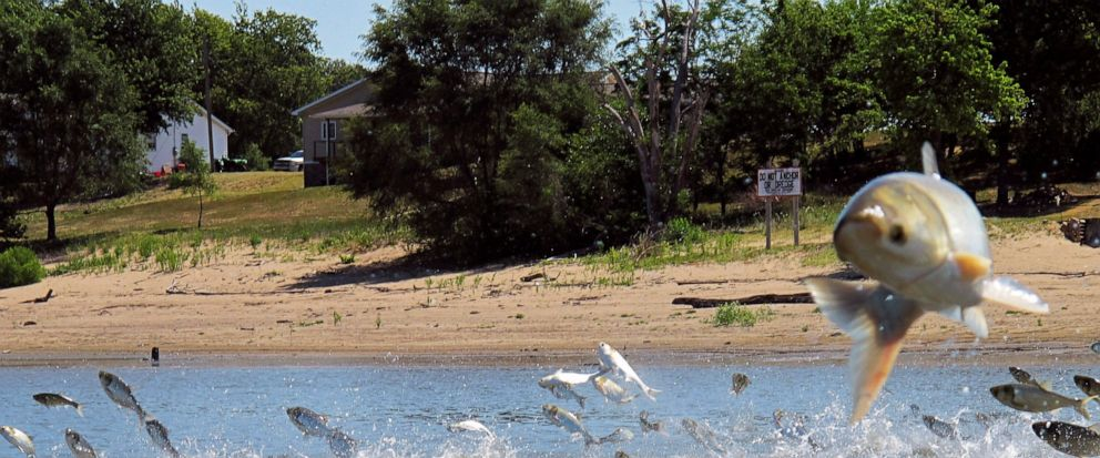 FILE - In this June 13, 2012, file photo, Asian carp, jolted by an electric current from a research boat, jump from the Illinois River near Havana, Ill. A newly released study says if Asian carp reach Lake Michigan, they probably would find enough fo