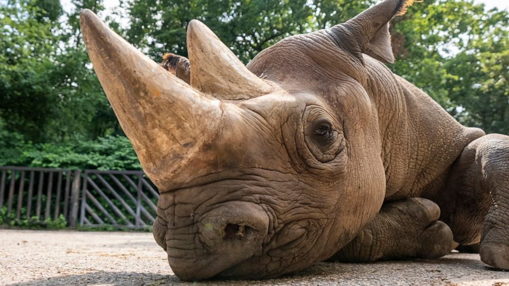 Endangered rhinos ready to be sent from Europe to Rwanda