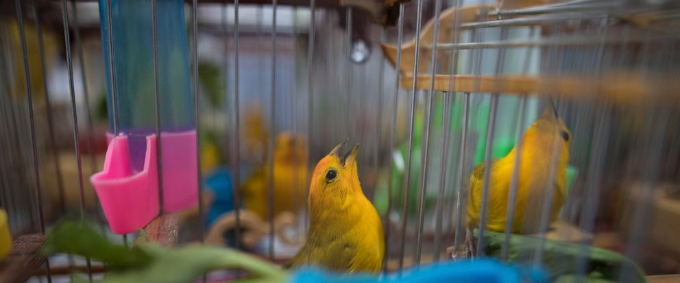 In this Aug. 5, 2019 photo, canaries that were caged by animal traffickers sing in their cages in a quarantined area of a wildlife center before being freed in Bogota, Colombia. Songbird competitions have been a pastime throughout the Caribbean for c