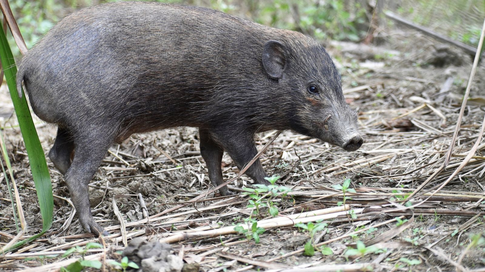 Virus Lockdown For World S Smallest And Rarest Wild Pigs Abc News