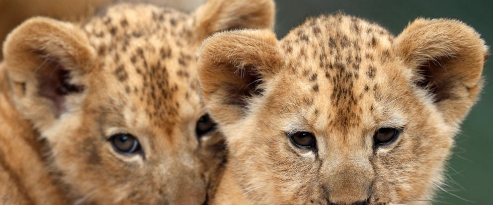Two Barbary lion cubs rest in their enclosure at the zoo in Dvur Kralove, Czech Republic, Monday, July 8, 2019. Two Barbary lion cubs have been born in a Czech zoo, a welcome addition to a small surviving population of a rare majestic lion subspecies