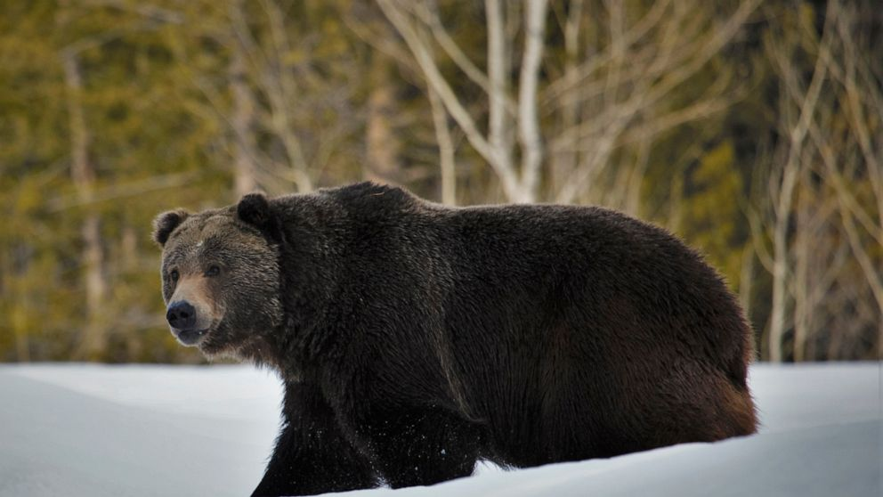 Scientists: Grizzlies broaden turf however nonetheless want safety
