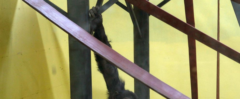 Koko, the chimpanzee hangs from a railing in a special compartment at the Skopje zoo, in Skopje, North Macedonia, Thursday, July 11, 2019. Koko, once a star in Skopjes zoo, has returned home after spending 10 years in the Netherlands recovering from