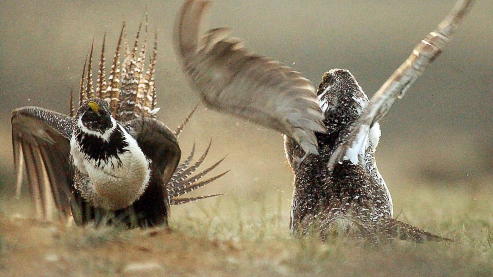 FILE - In this May 9, 2008 file photo, male sage grouses fight for the attention of female southwest of Rawlins, Wyo. The Trump administration is finalizing plans to ease restrictions on oil and gas drilling and other industries that were meant to protect an imperiled bird species that ranges across the American West, federal officials said Thursday, March 14, 2019. (Jerret Raffety/Rawlins Daily Times via AP, File)
