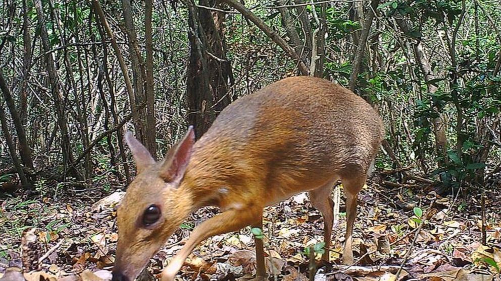 Rare deer-like species photographed for first time in wild thumbnail