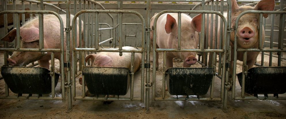 In this May 8, 2019, photo, pigs eat feed at a pig farm in Panggezhuang village in northern Chinas Hebei province. As a deadly virus ravages pig herds across Asia, scientists are accelerating efforts to develop a vaccine to help guard the worlds po