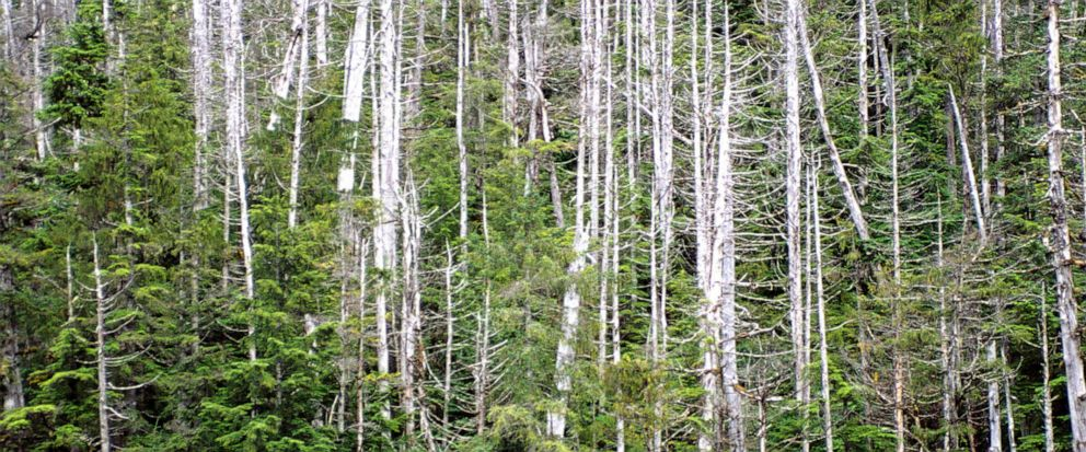 FILE - In this 2005 file photo provided by the USDA Forest Service in Juneau, Alaska, yellow cedars grow in the West Chichagof–Yakobi Wilderness, north of Sitka, Alaska. The U.S. Fish and Wildlife Service said Friday, Oct. 4, 2019 that it has rejecte