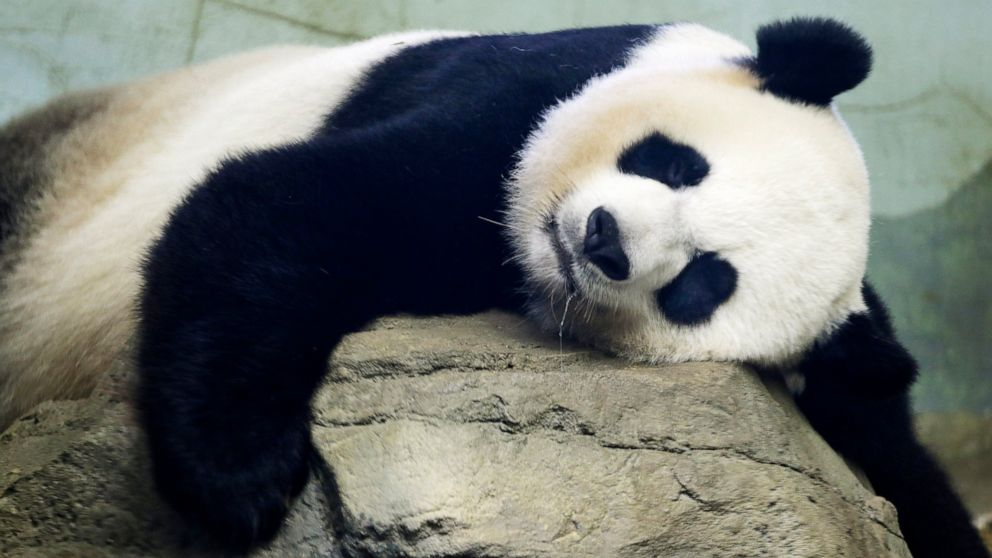 Image of article 'Birth of panda cub provides 'much-needed moment of pure joy'