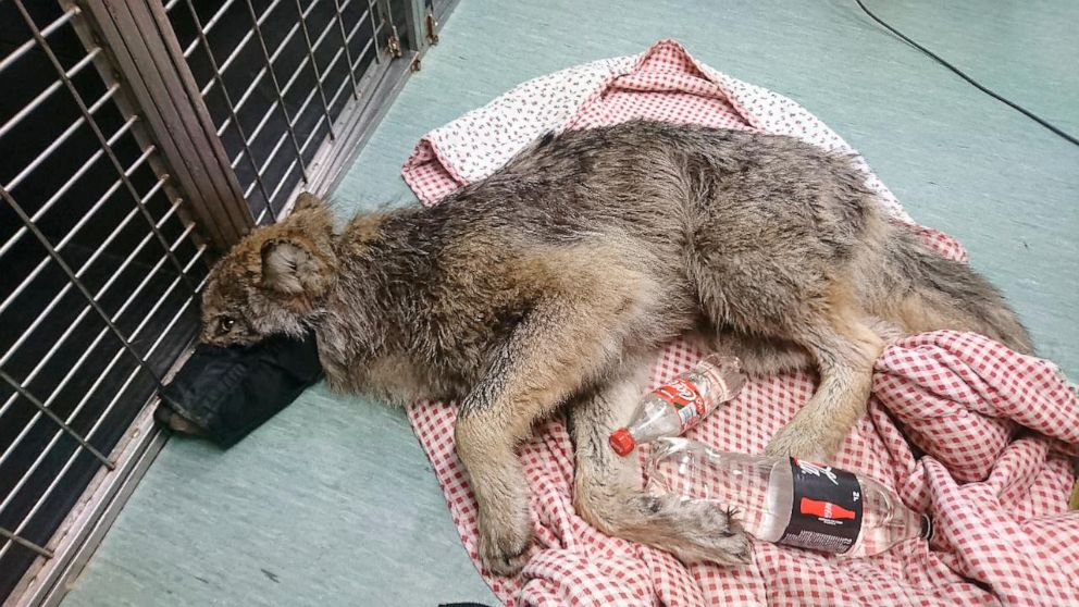 """Saved from icy river, Estonian wolf """"probably"""" shot"""