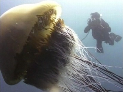 Video: 600-pound jellyfish put a threat on Japans fishing industry.