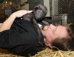 PHOTO: This photo provided by the Cincinnati Zoo on Friday, March 1, 2013, shows Ron Evans, Primate Center Team Leader at the zoo in Cincinnati, laying with a baby gorilla named Gladys the way a mother Western Lowland Gorilla would with her young.