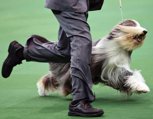 2013 Westminster Dog Show Picture | Westminster Kennel Club