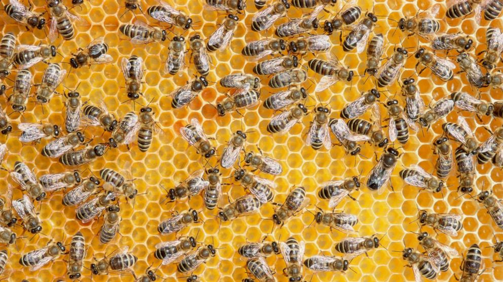 Smell ya later: Honeybees track their queens with scent maps