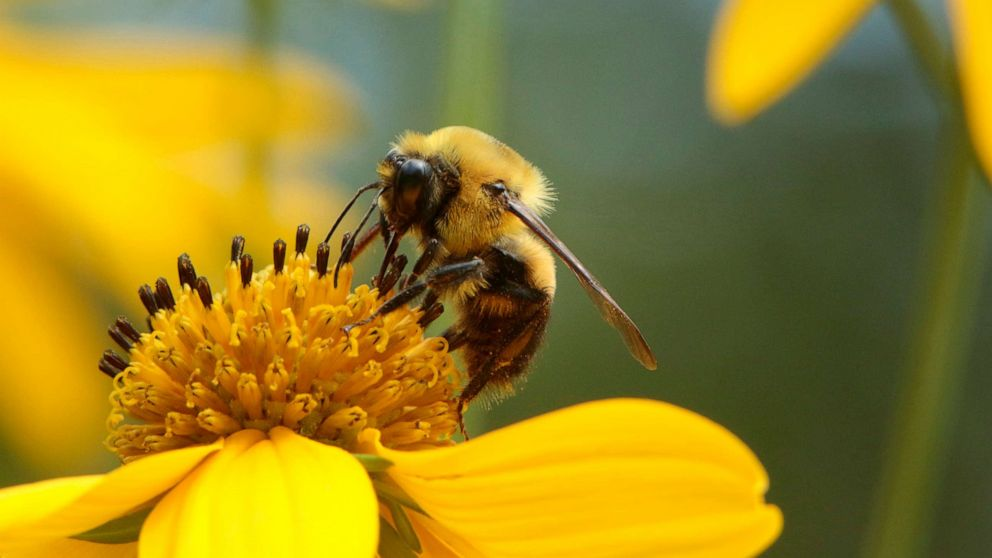 Pollen-sized pills could help protect bees from pesticides