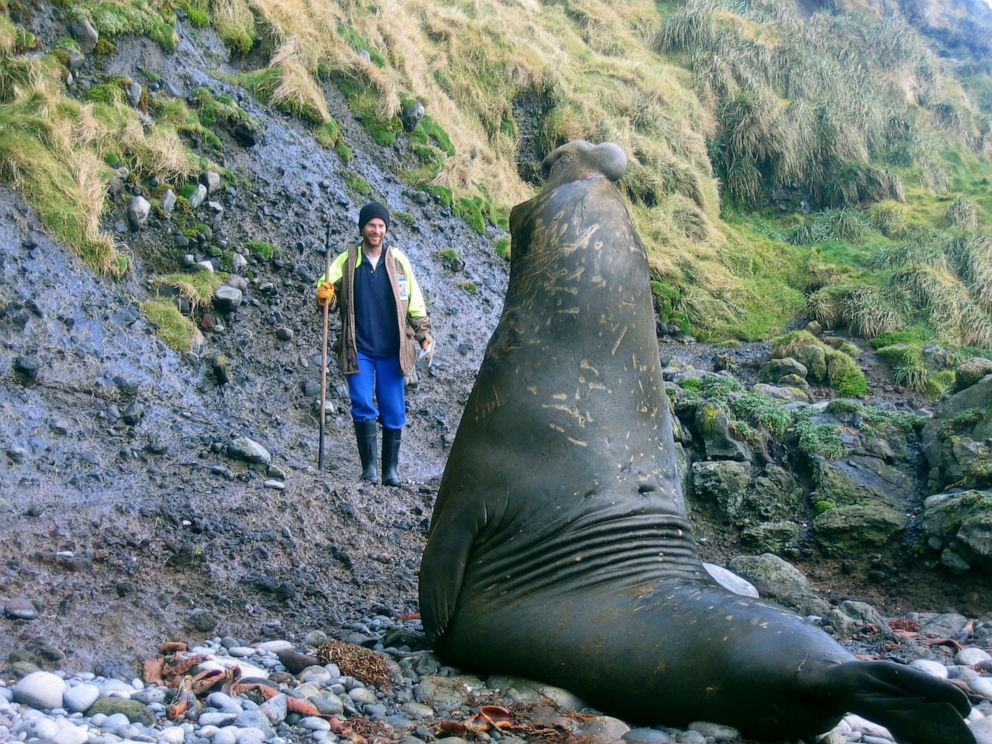 PHOTO: Trevor McIntyre faces off against a male southern elephant seal. His job was to distract aggressive males with a broomstick while his colleagues checked on other seals or glued tracking devices to their heads.