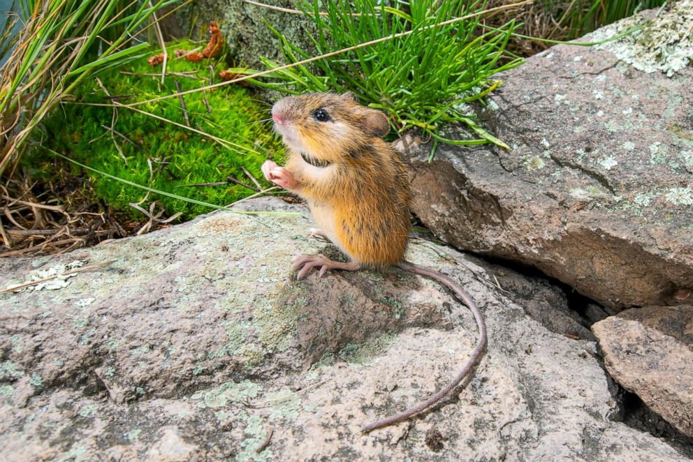 PHOTO: An endangered New Mexico meadow jumping mouse wearing a radio collar.