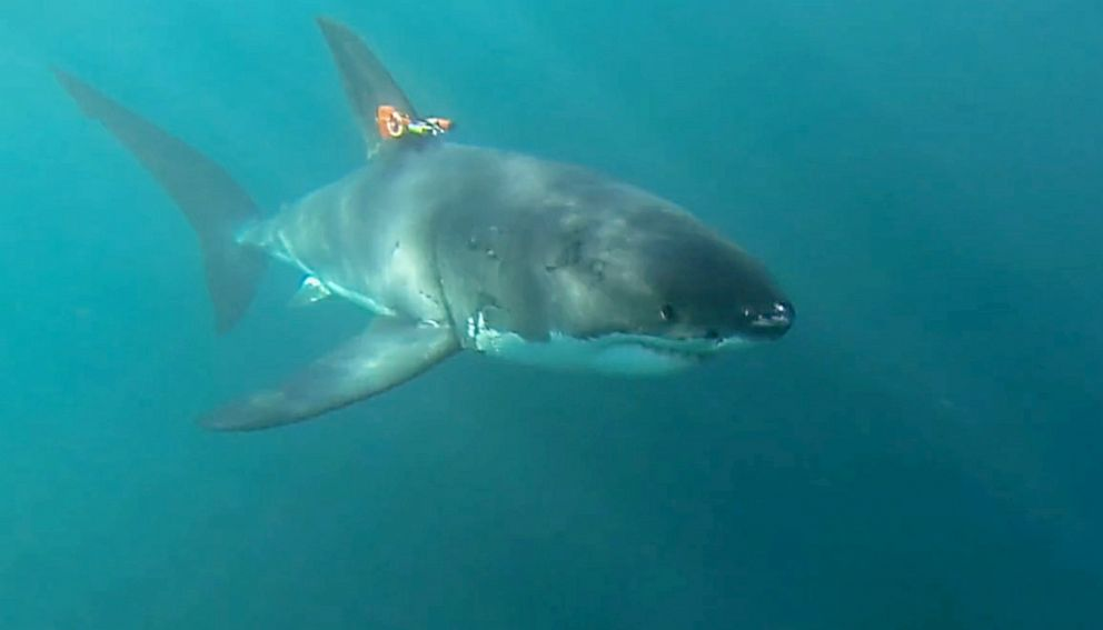 PHOTO: In 2015, researchers tested a prototype of MBARIs shark-cam tag on white sharks in South Africa.