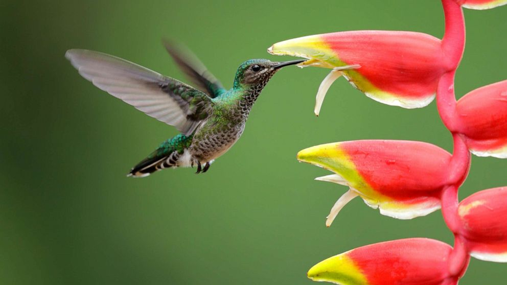 Hummingbirds' vision hints at compound colors outside normal spectrum thumbnail