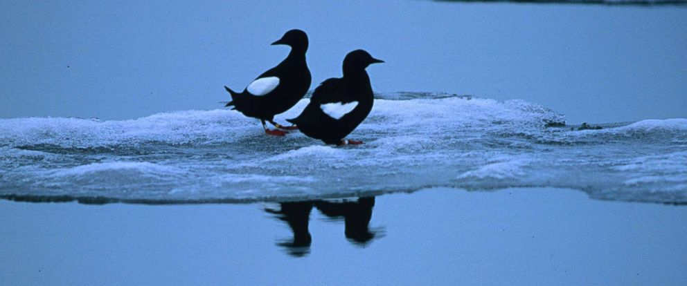 PHOTO: A pair of black guillemots stand on an ice floe in August 2001 off Cooper Island, Alaska.