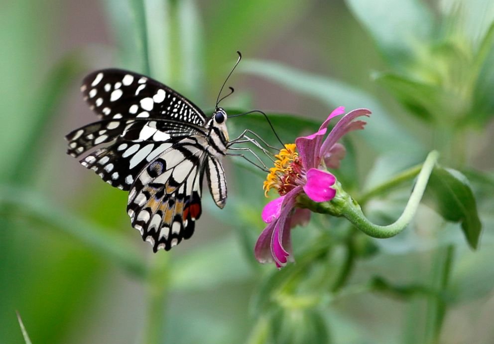 PHOTO: A butterfly rests on a Zinnia flower in Nakhon Sawan Province, north of Bangkok, June 2, 2018.